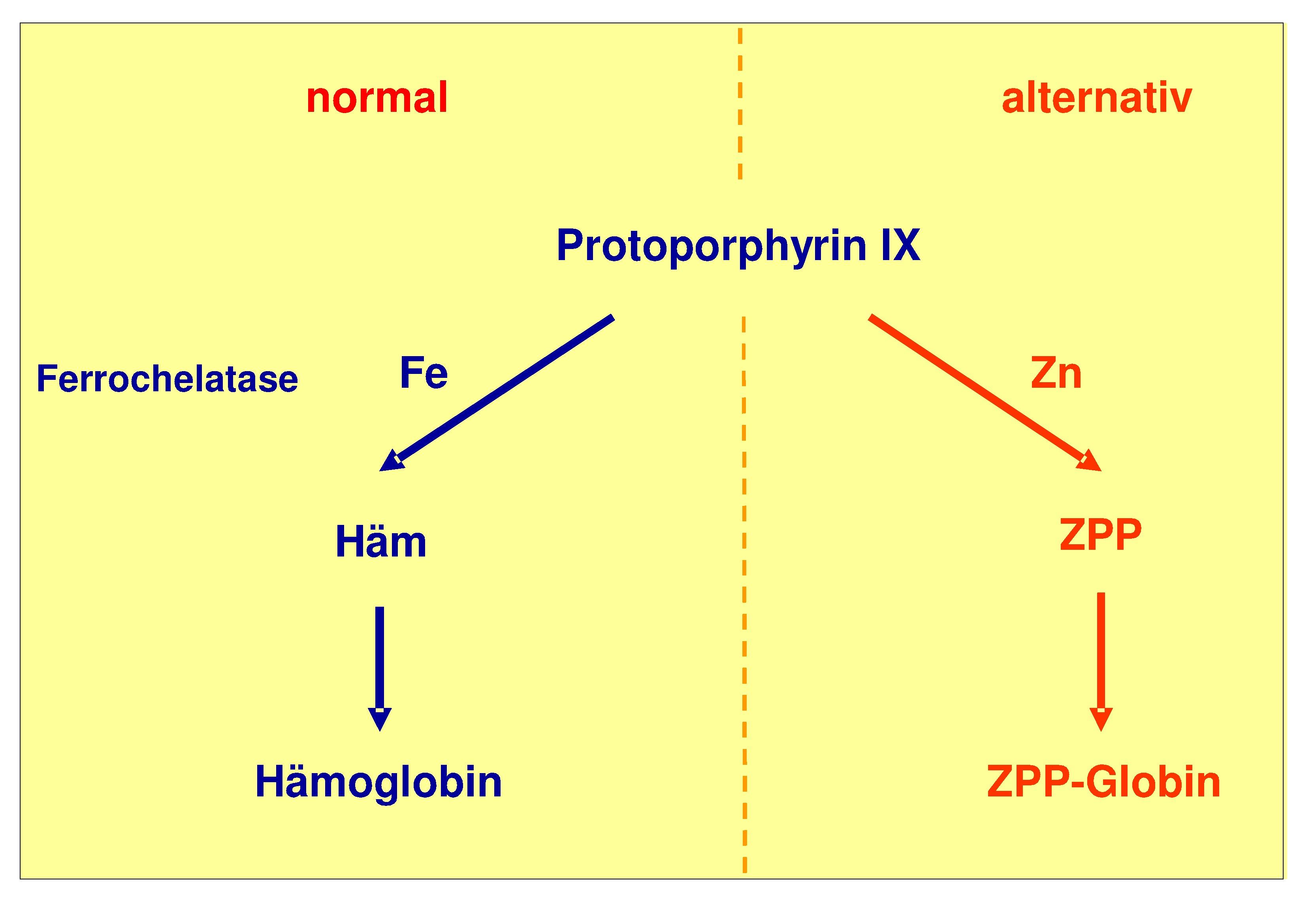 Entstehung von Zinkprotoporphyrin (ZPP) beim Eisenmangel